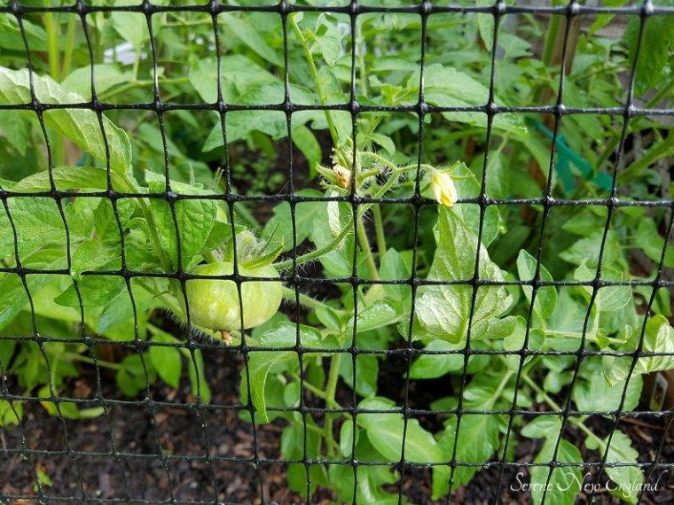 July Garden Update (6)