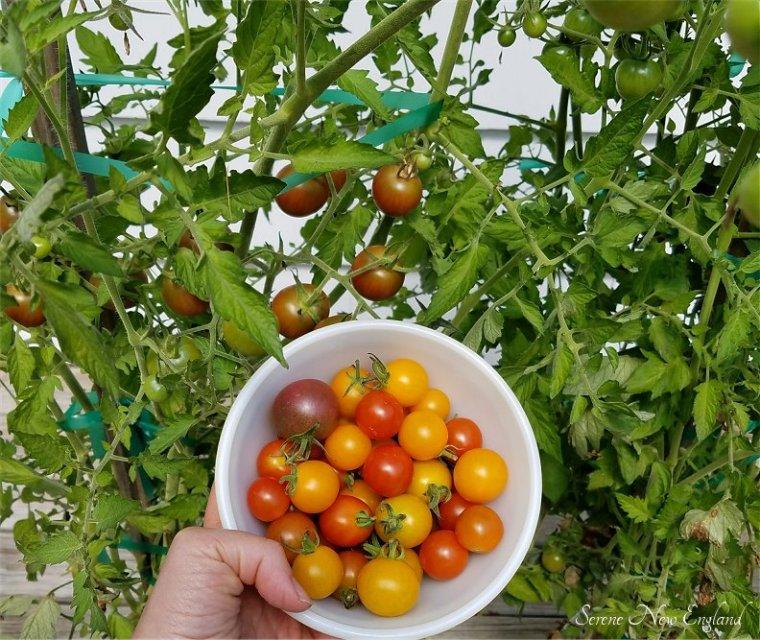 cherry-tomato-harvest
