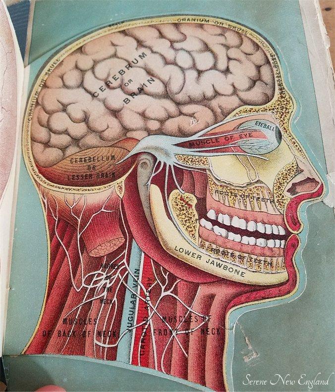 Victorian Era Anatomy Diagram from Medicology.jpg