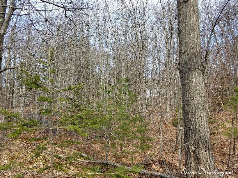 Maine Woods (5).jpg