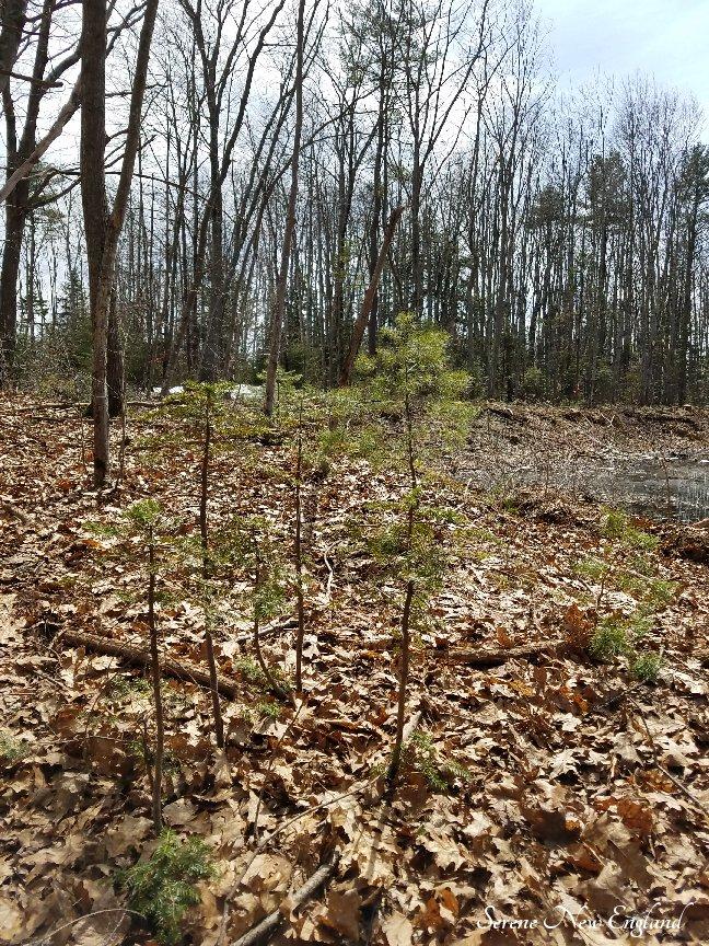 Maine Woods (8).jpg