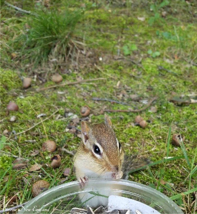 Buster Chipmunk Seeds.jpg