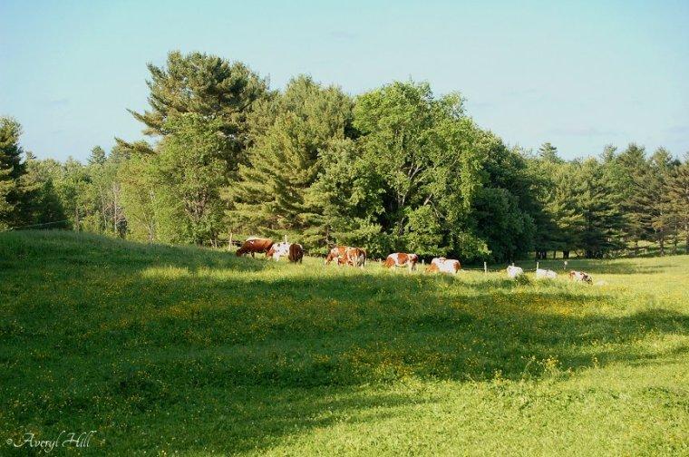 Bucolic Cow Scene