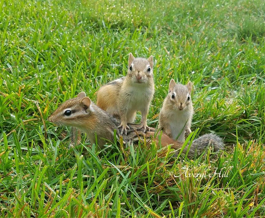 Baby chipmunks in grass
