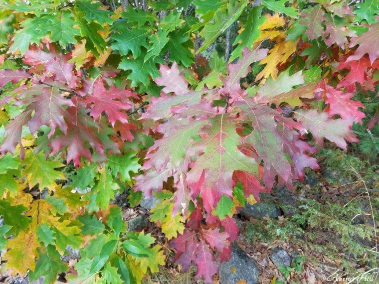 Maine Peak Foliage Leaf Peeping 2019 (18)