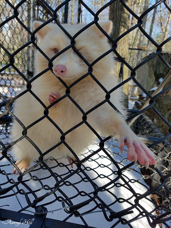 Albino Porcupine Maine Wildlife Park (1)