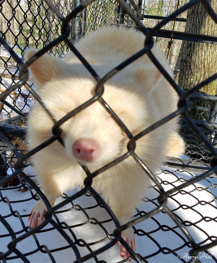 Albino Porcupine Maine Wildlife Park (3)