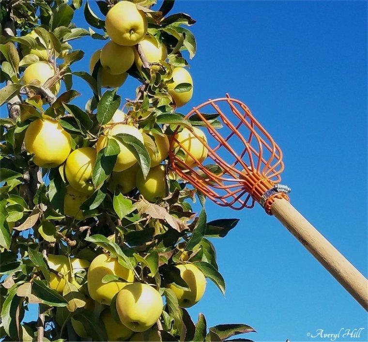 Apple Leaves Dead Leaves (1)