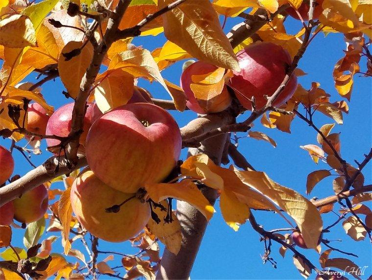 Apple Leaves Dead Leaves (11)