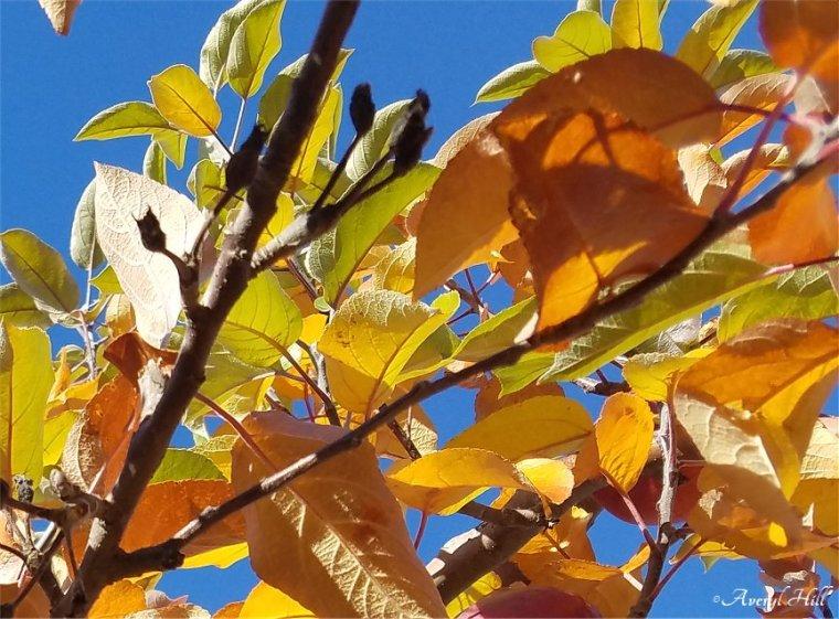 Apple Leaves Dead Leaves (14)