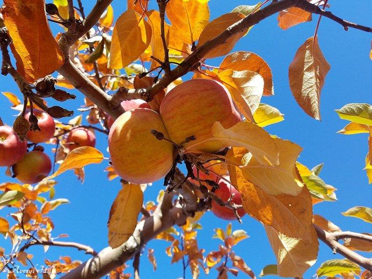 Apple Leaves Dead Leaves (2)