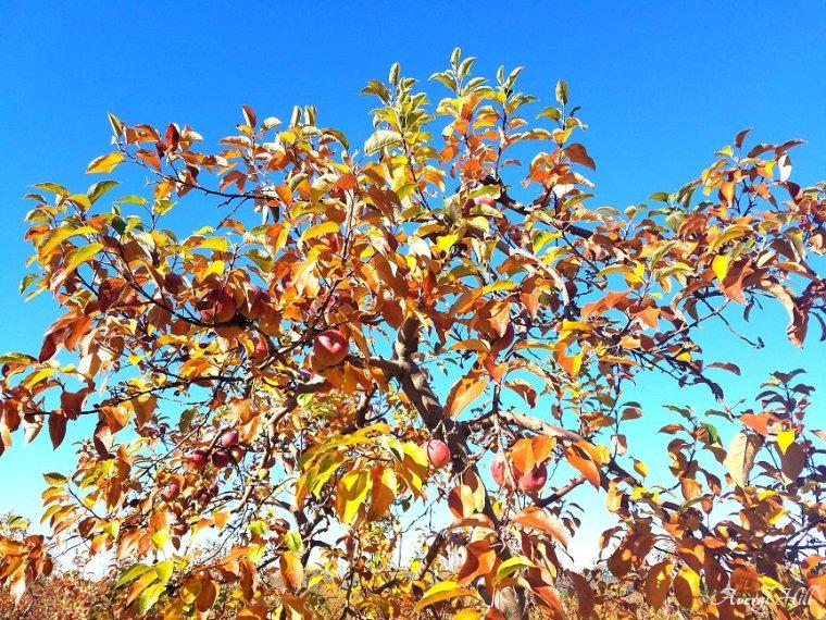 Apple Leaves Dead Leaves (3)