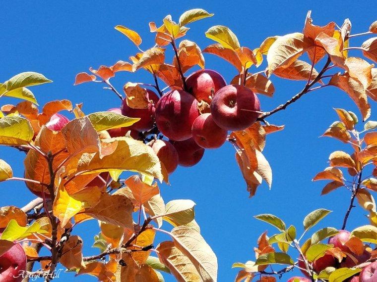 Apple Leaves Dead Leaves (5)