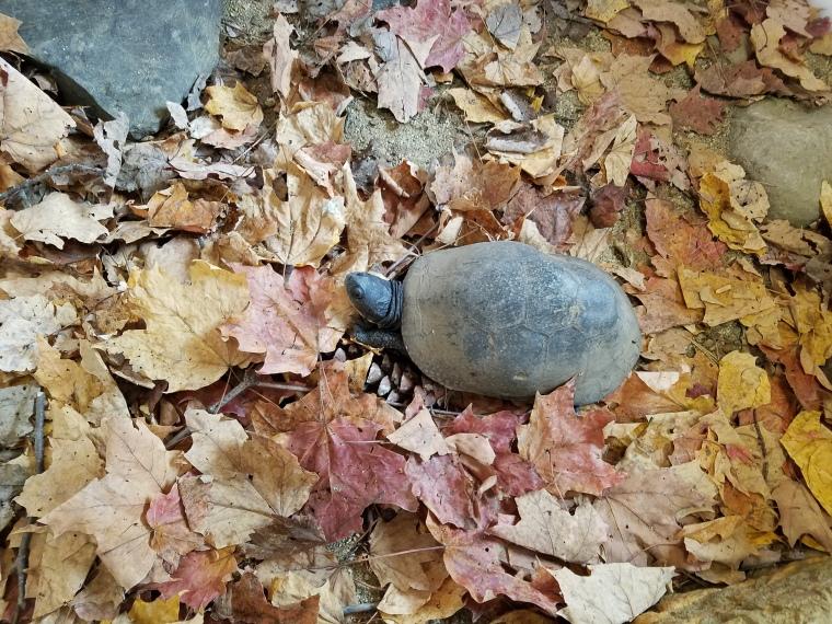 Blanding's Turtle Maine Wildlife Park (1).jpg