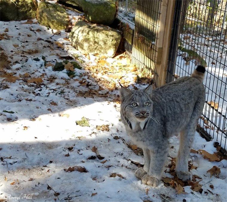 Maine Wildlife Park Canada Lynx (1)