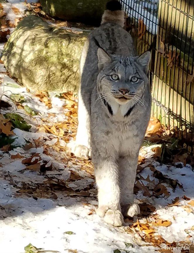 Maine Wildlife Park Canada Lynx (2)